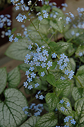 Jack Frost Bugloss (Brunnera macrophylla 'Jack Frost') at Make It Green Garden Centre