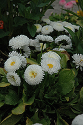 Bellisima™ White English Daisy (Bellis perennis 'Bellissima White') at Make It Green Garden Centre