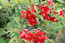 Texas Scarlet Flowering Quince (Chaenomeles speciosa 'Texas Scarlet') at Make It Green Garden Centre