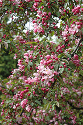 Indian Summer Flowering Crab (Malus 'Indian Summer') at Make It Green Garden Centre