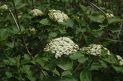Wayfaring Tree (Viburnum lantana) at Make It Green Garden Centre
