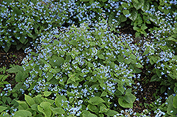 Siberian Bugloss (Brunnera macrophylla) at Make It Green Garden Centre