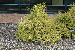 Sungold Falsecypress (Chamaecyparis pisifera 'Sungold') at Make It Green Garden Centre