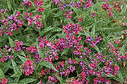 Raspberry Splash Lungwort (Pulmonaria 'Raspberry Splash') at Make It Green Garden Centre