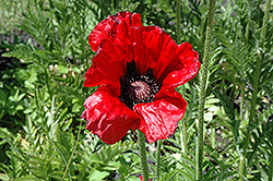 Beauty of Livermere Poppy (Papaver orientale 'Beauty of Livermere') at Make It Green Garden Centre