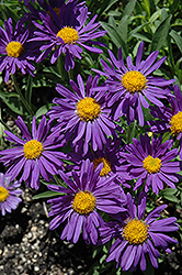 Dark Beauty Alpine Aster (Aster alpinus 'Dark Beauty') at Make It Green Garden Centre