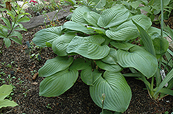 Fried Green Tomatoes Hosta (Hosta 'Fried Green Tomatoes') at Make It Green Garden Centre