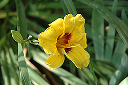 Siloam Junebug Daylily (Hemerocallis 'Siloam Junebug') at Make It Green Garden Centre