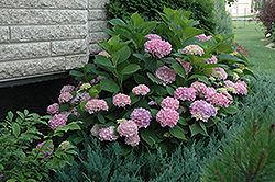 Endless Summer® Hydrangea (Hydrangea macrophylla 'Endless Summer') at Make It Green Garden Centre