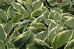 Golden Variegated Hosta (Hosta fortunei 'Aureomarginata') at Make It Green Garden Centre