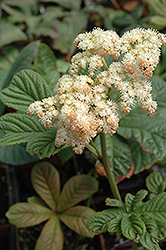 Elegans Rodgersia (Rodgersia pinnata 'Elegans') at Make It Green Garden Centre