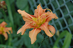 Kwanso Daylily (Hemerocallis fulva 'Kwanso') at Make It Green Garden Centre