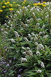 Gooseneck Loosestrife (Lysimachia clethroides) at Make It Green Garden Centre