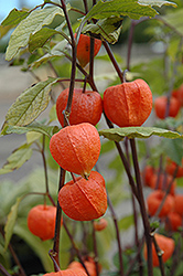 Chinese Lantern (Physalis franchetii) at Make It Green Garden Centre