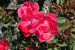 Pink Knock Out® Rose (Rosa 'Radcon') at Make It Green Garden Centre