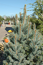 Iseli Fastigiate Spruce (Picea pungens 'Iseli Fastigiata') at Make It Green Garden Centre