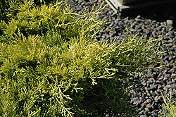 Sea Of Gold Juniper (Juniperus x media 'Sea Of Gold') at Make It Green Garden Centre