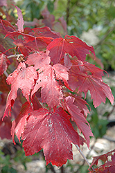 Scarlet Jewel™ Red Maple (Acer rubrum 'Bailcraig') at Make It Green Garden Centre