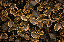Country Gold Wintercreeper (Euonymus fortunei 'Country Gold') at Make It Green Garden Centre