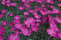 Firewitch Pinks (Dianthus gratianopolitanus 'Firewitch') at Make It Green Garden Centre
