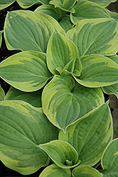 Wide Brim Hosta (Hosta 'Wide Brim') at Make It Green Garden Centre