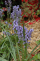 Spanish Bluebell (Hyacinthoides hispanica) at Make It Green Garden Centre