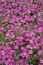 Crimson Beauty Moss Phlox (Phlox subulata 'Crimson Beauty') at Make It Green Garden Centre