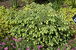 Moon Frost Hemlock (Tsuga canadensis 'Moon Frost') at Make It Green Garden Centre