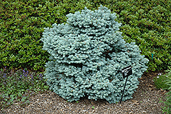 Thume Blue Spruce (Picea pungens 'Thume') at Make It Green Garden Centre