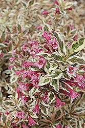 My Monet® Weigela (Weigela florida 'Verweig') at Make It Green Garden Centre