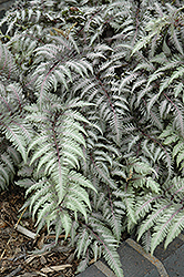 Pewter Lace Painted Fern (Athyrium nipponicum 'Pewter Lace') at Make It Green Garden Centre