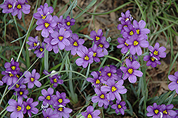 Lucerne Blue-Eyed Grass (Sisyrinchium angustifolium 'Lucerne') at Make It Green Garden Centre