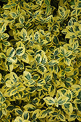 Emerald 'n' Gold Wintercreeper (Euonymus fortunei 'Emerald 'n' Gold') at Make It Green Garden Centre