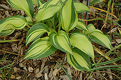Rainbow's End Hosta (Hosta 'Rainbow's End') at Make It Green Garden Centre