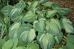 Guardian Angel Hosta (Hosta 'Guardian Angel') at Make It Green Garden Centre