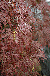 Inaba Shidare Cutleaf Japanese Maple (Acer palmatum 'Inaba Shidare') at Make It Green Garden Centre