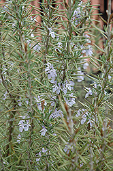 Arp Rosemary (Rosmarinus officinalis 'Arp') at Make It Green Garden Centre