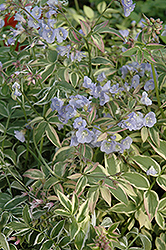 Touch Of Class Jacob's Ladder (Polemonium reptans 'Touch Of Class') at Make It Green Garden Centre