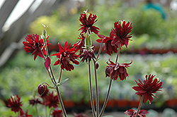 Ruby Port Double Columbine (Aquilegia vulgaris 'Ruby Port') at Make It Green Garden Centre