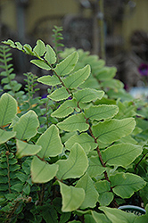 Japanese Holly Fern (Cyrtomium falcatum) at Make It Green Garden Centre
