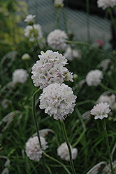 White Sea Thrift (Armeria maritima 'Alba') at Make It Green Garden Centre