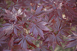 Trompenburg Japanese Maple (Acer palmatum 'Trompenburg') at Make It Green Garden Centre