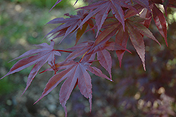Moonfire Japanese Maple (Acer palmatum 'Moonfire') at Make It Green Garden Centre