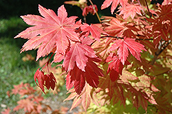 Autumn Moon Full Moon Maple (Acer shirasawanum 'Autumn Moon') at Make It Green Garden Centre