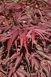 Red Dawn Full Moon Maple (Acer shirasawanum 'Red Dawn') at Make It Green Garden Centre