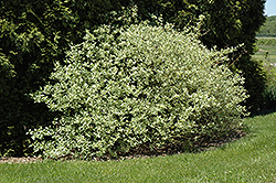 Silver and Gold Dogwood (Cornus sericea 'Silver and Gold') at Make It Green Garden Centre