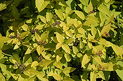 Candle Light Spirea (Spiraea x bumalda 'Candle Light') at Make It Green Garden Centre