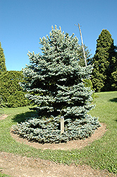 Royal Knight Blue Spruce (Picea pungens 'Royal Knight') at Make It Green Garden Centre