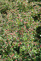 Cranberry Cotoneaster (Cotoneaster apiculatus) at Make It Green Garden Centre