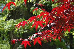 Emperor I Japanese Maple (Acer palmatum 'Wolff') at Make It Green Garden Centre